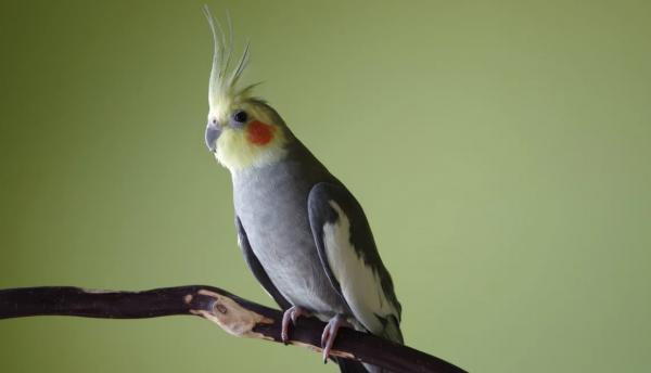 Можно ли научить попугая кореллу разговаривать