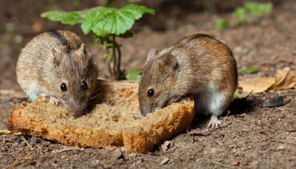 Среда обитания полевой мыши