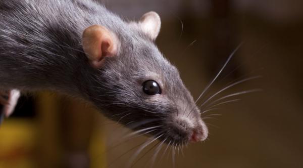 У крысы блохи как избавиться