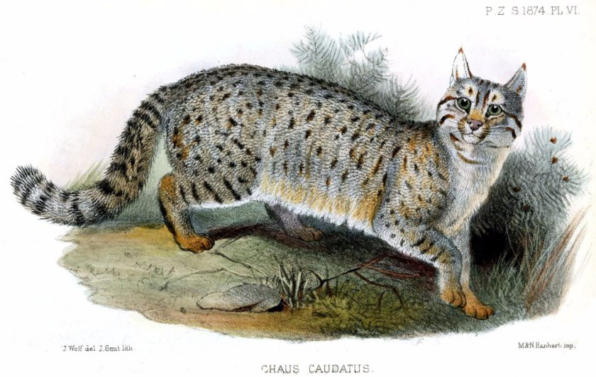 Камышовый кот, иллюстрация 1874 года
