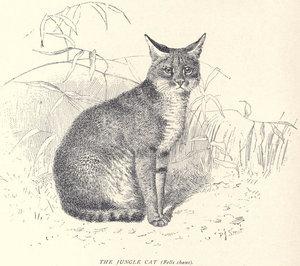 Камышовый кот, иллюстрация 1904 года