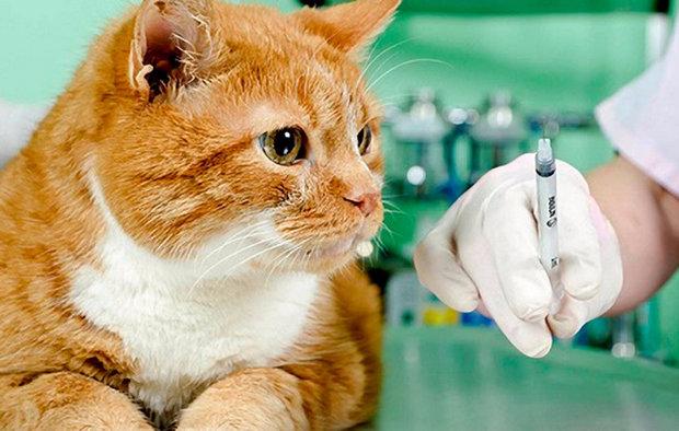 Как сделать прививки кошке