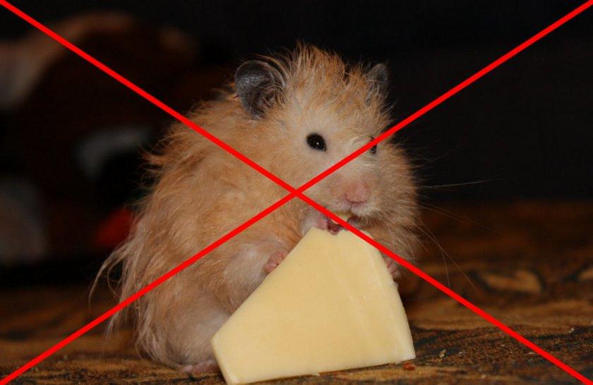 Сыр в питании хомяка