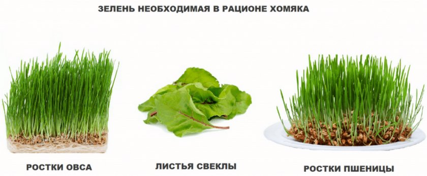 Зелень для хомяка