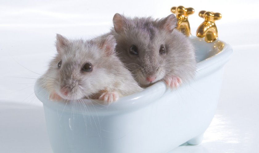 Хомяки в ванне