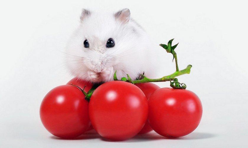 Хомяк ест помидор