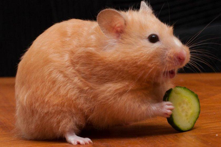Хомячок ест огурец