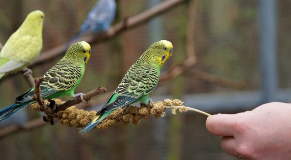Чем питаются попугаи в дикой природе