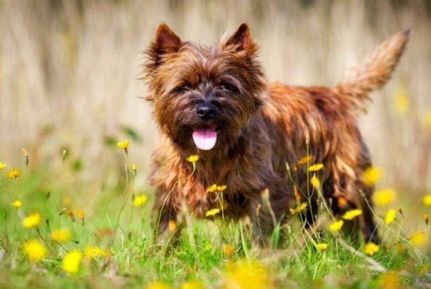 Собака породы керн-терьер