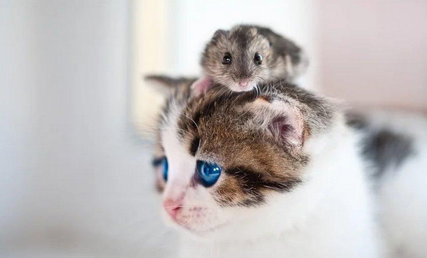 Хомяк и кот