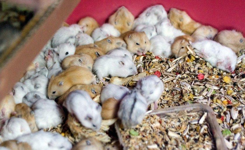 Размножение сирийских хомяков