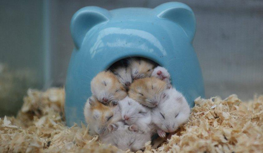 Спячка хомячков