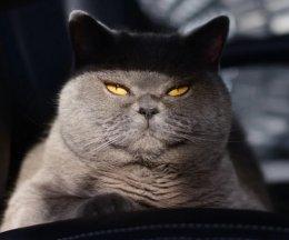 Красивы, но очень опасны: 5 кошек с агрессивным характером