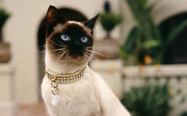 Как ухаживать за сиамским котом