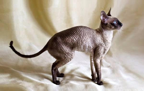 Корниш Рекс: описание породы кошек, фотография, вес