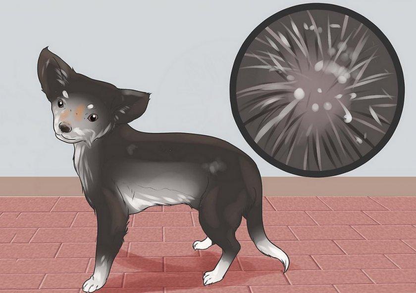 Хейлетиоз у собаки