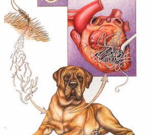 собачий дирофиляриоз