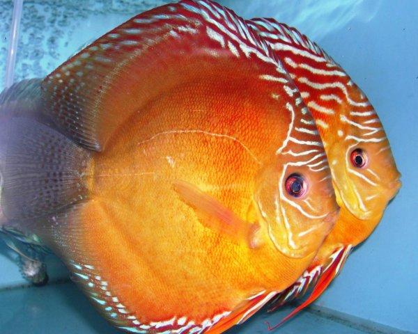 Черный дискус описание рыбки