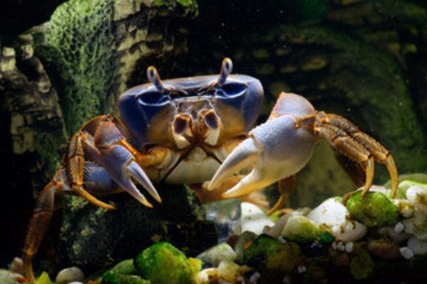 Кормление крабов простые правила для аквариумиста