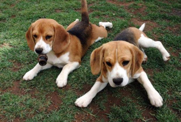 собаки низкорослые