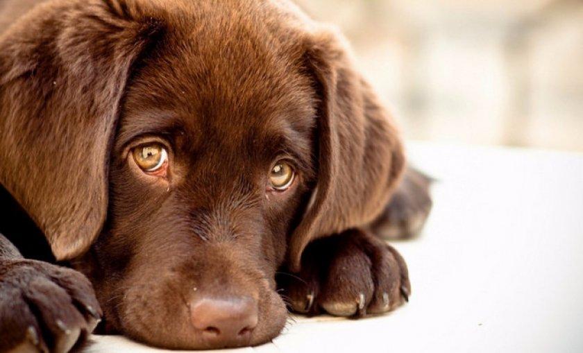 что такоей собачий дирофиляриоз и как его вылечить