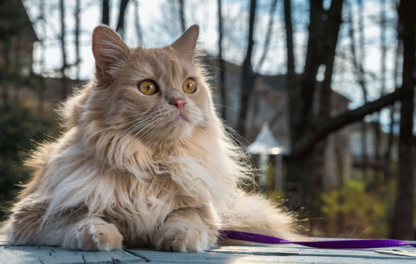 Персидская кошка описание породы характер и специфический уход