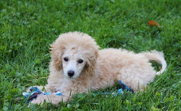 Пудель карликовый: как выглядит на фото, описание породы, ее плюсы и минусы, а также отзывы владельцев о щенках