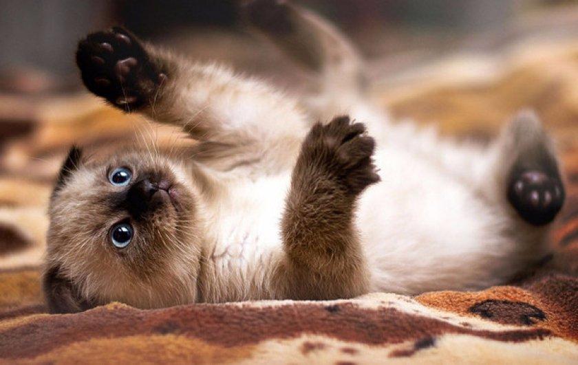 Сиамская кошка котенок