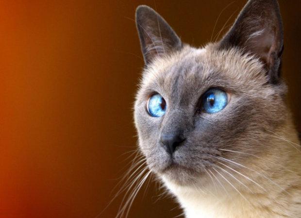 сиамские. коты фото