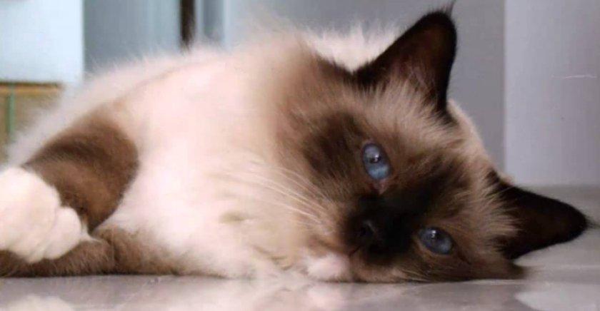 Бирманская кошка: