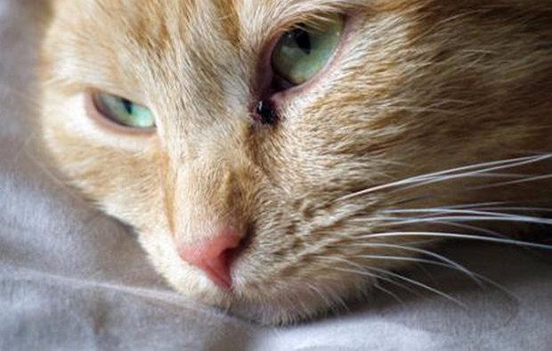 Как лечить кальцивироз у кошек