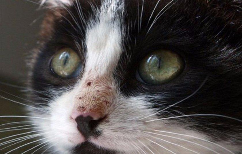 Кадьцивироз у кошек