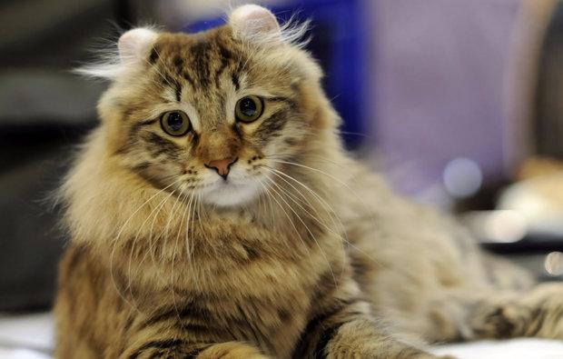 порода кошек американский керл фото цена