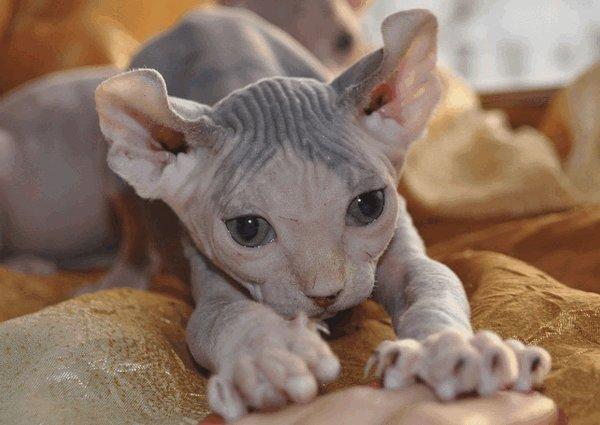 Лысые кошки породы фото