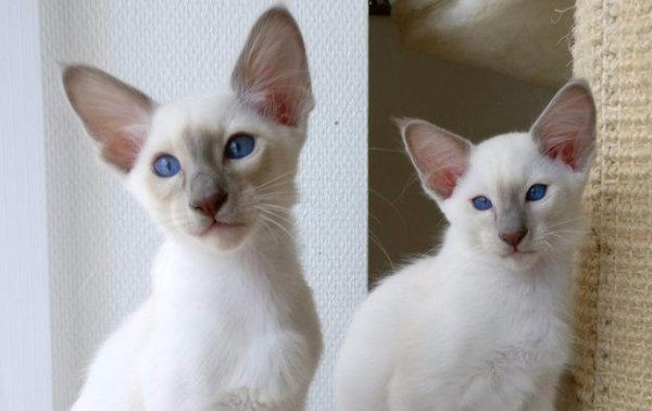 Балинезийская кошка внешнее описание е характер и правильный уход