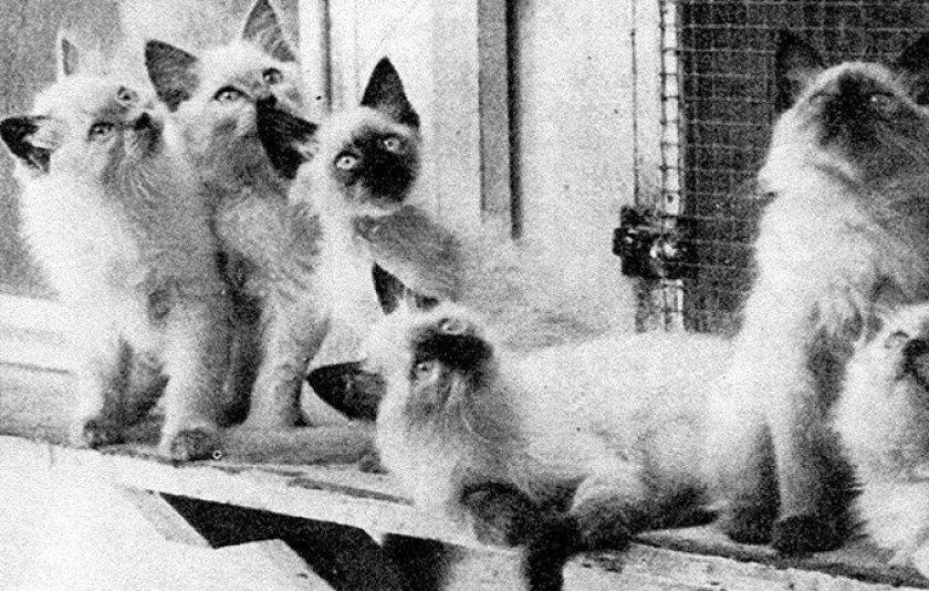 Балийские котята, 1971