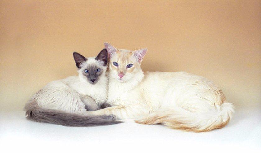 Балийские коты