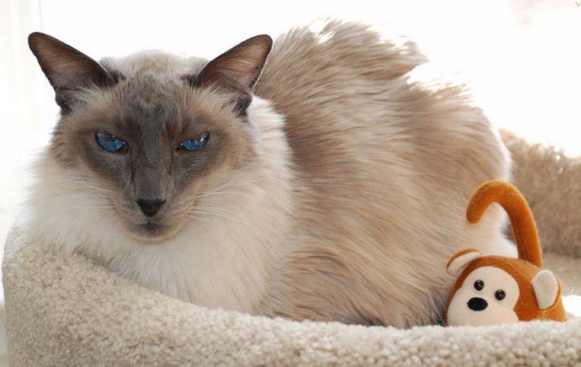 Котик балинез