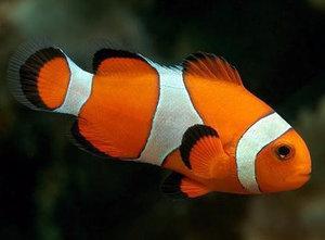 Рыбы-клоуны
