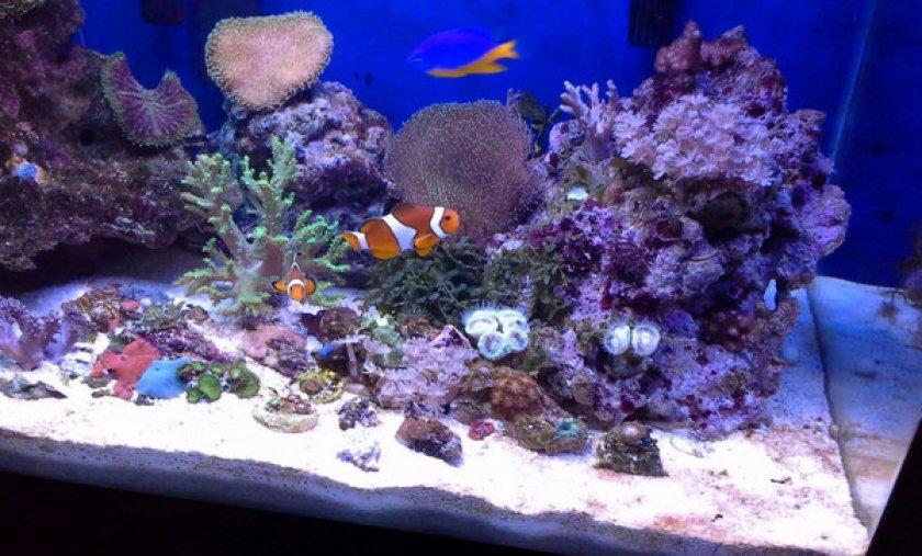 Рыба-клоун в аквариуме