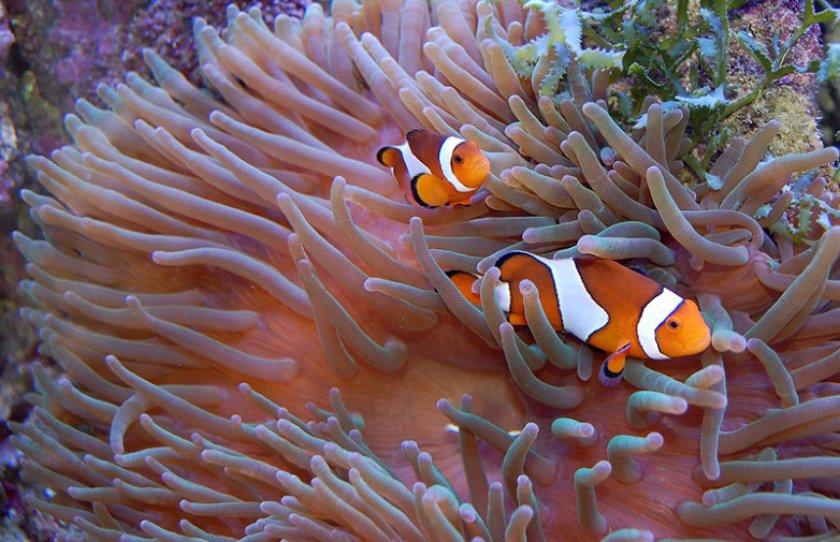 Рыбы-клоуны и актинии