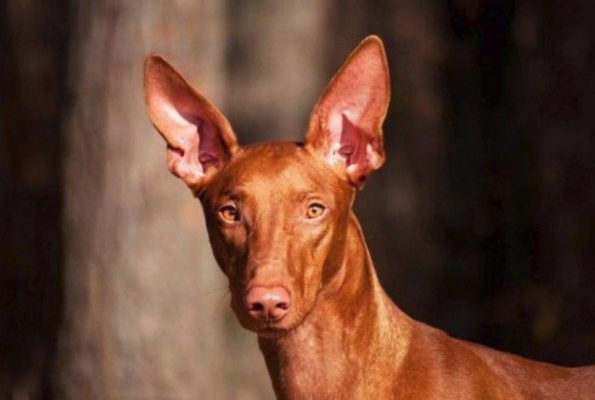 Собака египетских фараонов