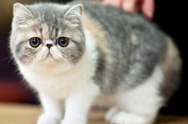ᐉ Экзотическая короткошерстная - описание пород котов