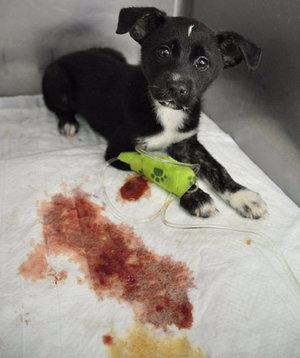 парвовирусный энтерит у взрослых собак