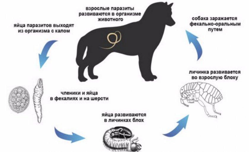 Как собака заражается