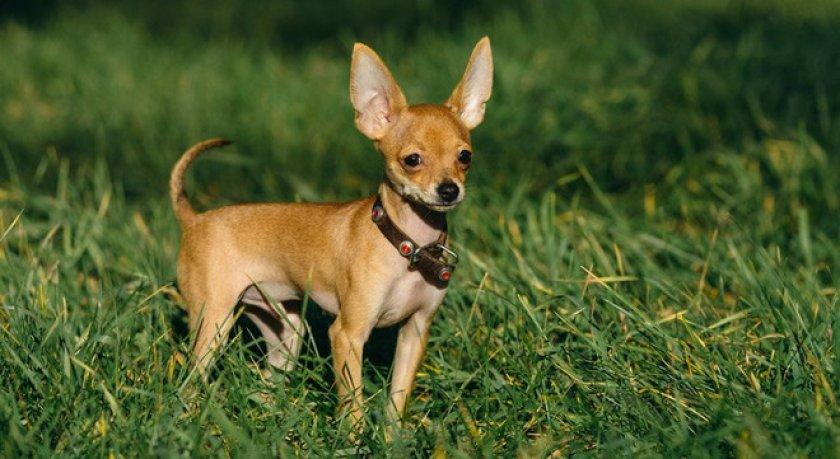Обзор десяти небольших пород собак, подходящих для содержания в квартире. Рассматриваются видовые характеристики, история происхождения, характер и особенности ухода.