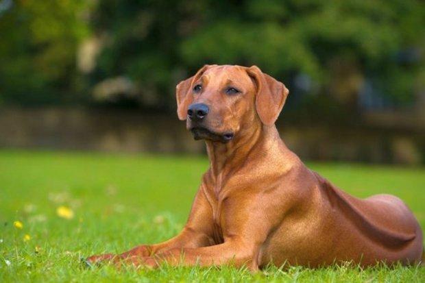 Порода собак Риджбек родезийский: фото, видео, описание породы и характер