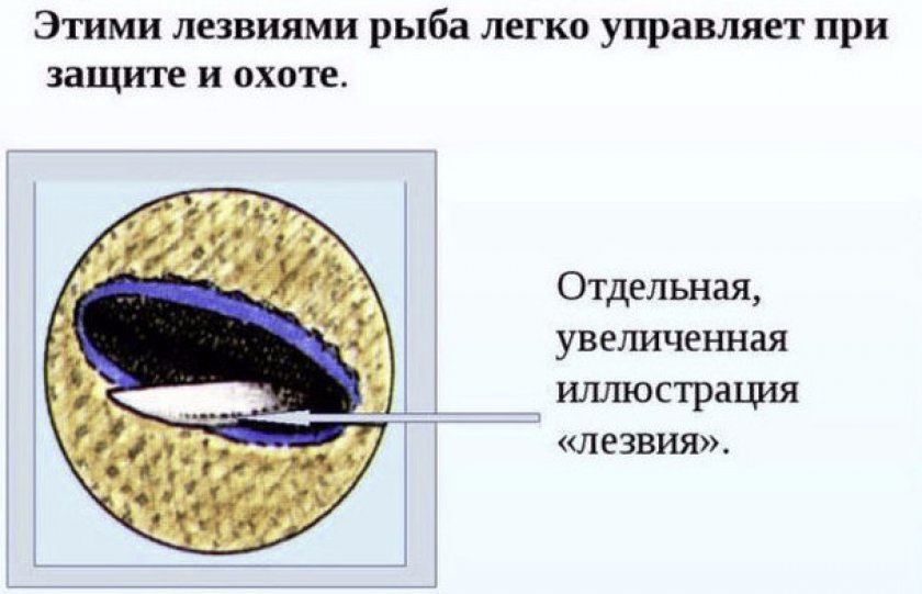 Особый шип на теле рыбы