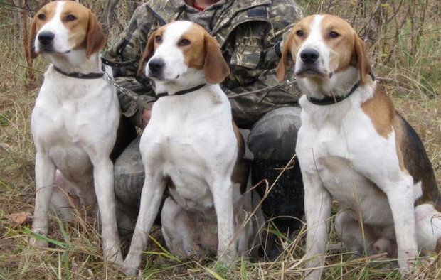 Порода собак Русская гончая: фото, видео, описание породы и характер