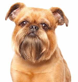 Порода собак брюссельский гриффон: фото, видео, описание породы и характер